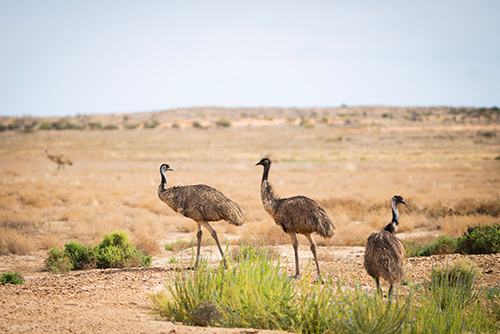 Image of three emus walking across desert